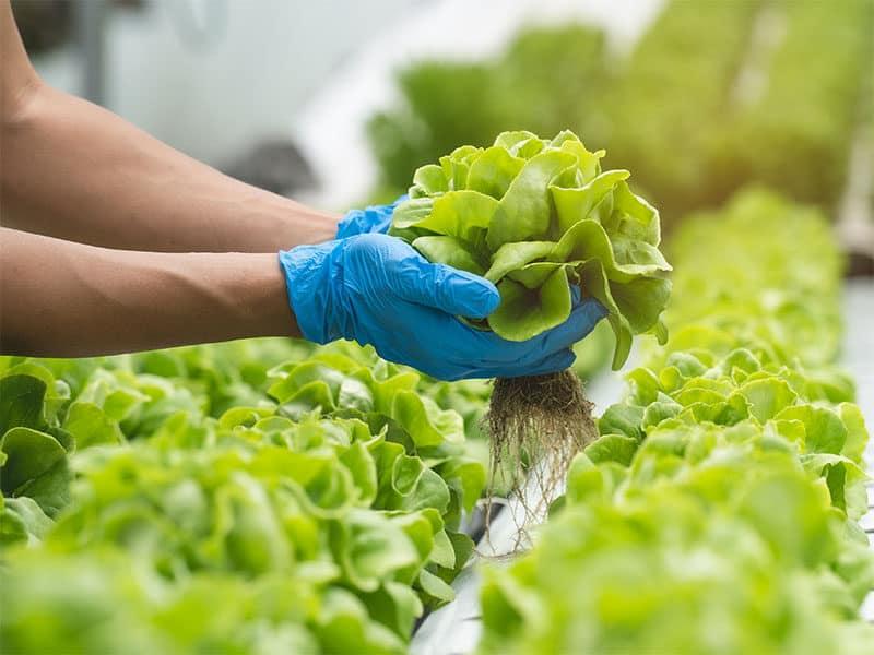 Hands Farmer Picking Lettuce