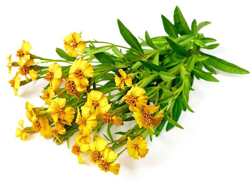 Mexican Tarragon Flowers