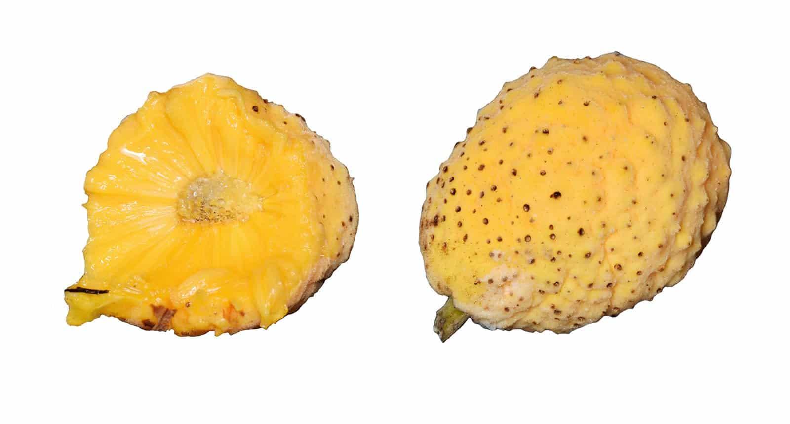 Artocarpus Hypargyreus