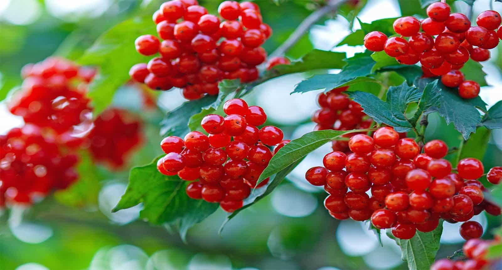 Berries European Cranberrybush