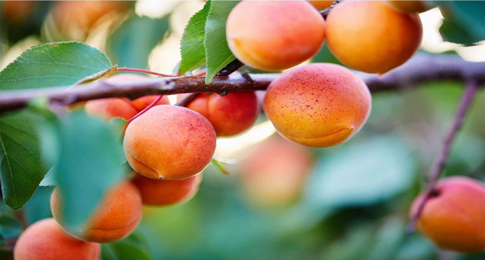 Bunch Ripe Apricots