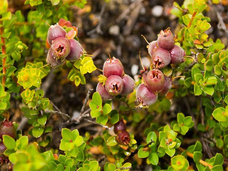 Plant Muntries Kunzea Pomifera