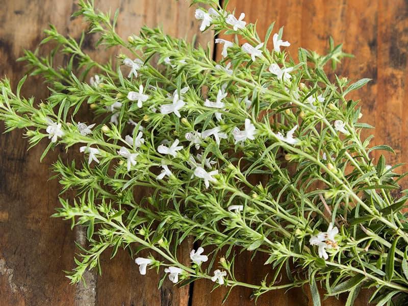 Savory Satureja Hortensis