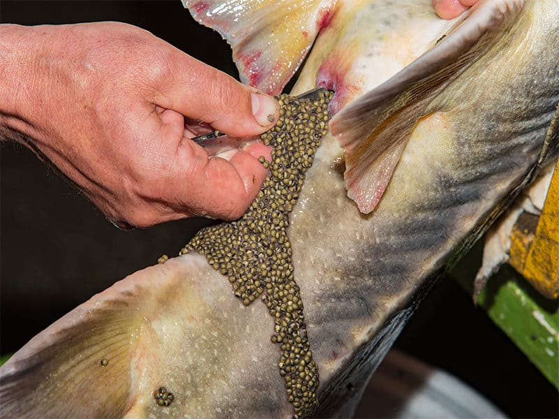 Extraction Of Black Caviar