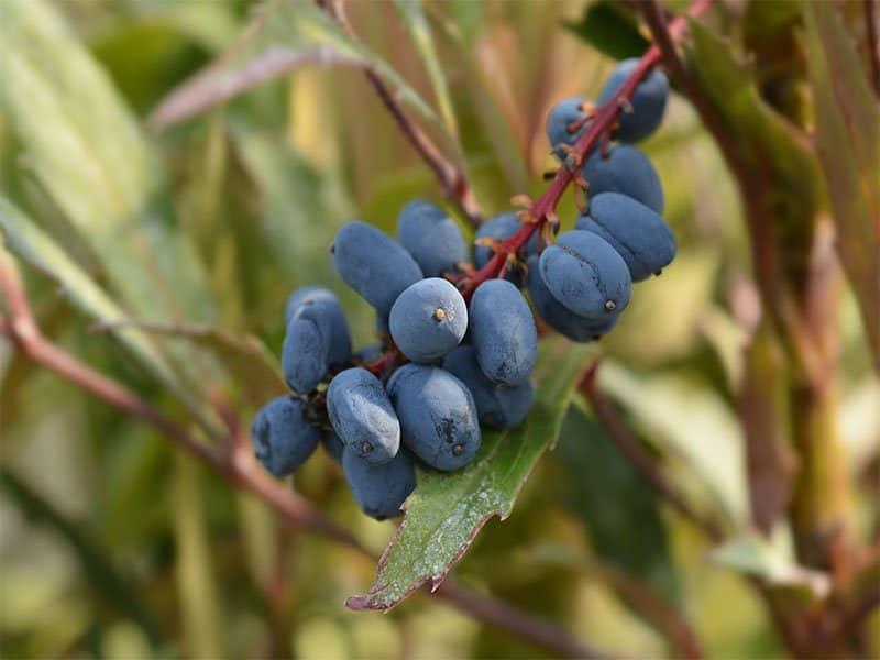 Oregon Grape Fruits