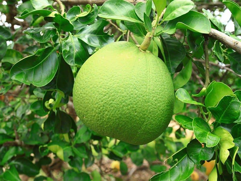 Pummelo Fruit
