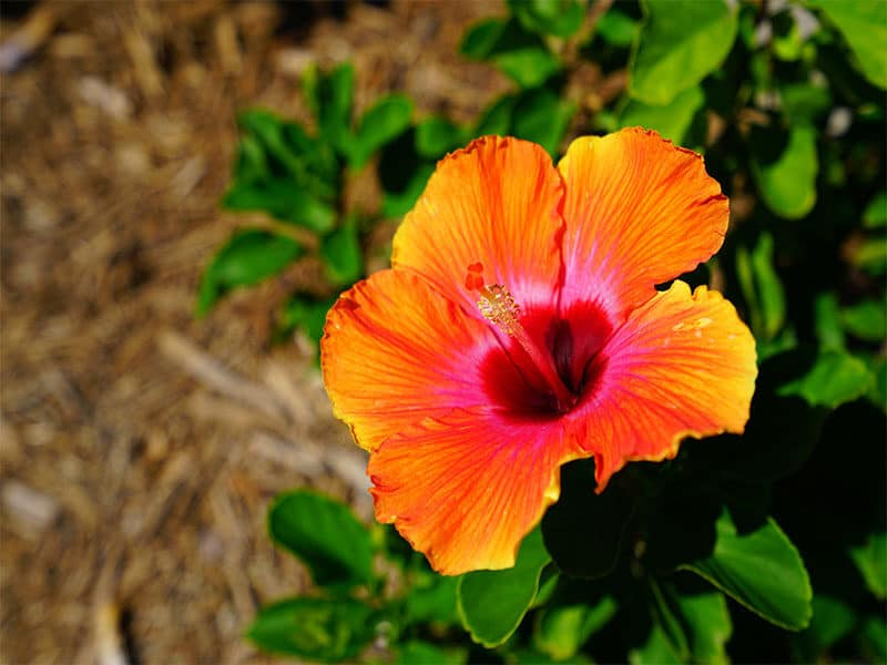 Red Hibiscus Blossom