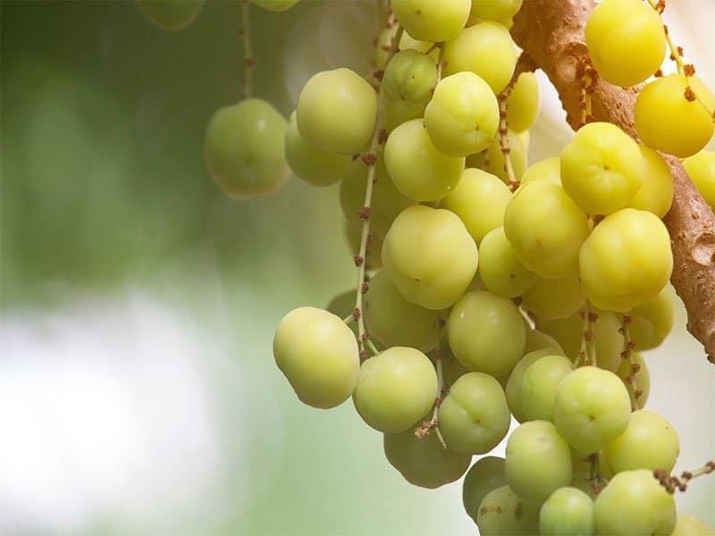 Star Gooseberry Fruit