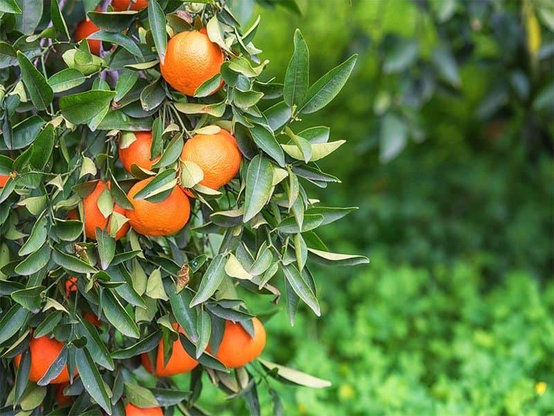 Tangerine Garden Sunlight Ripe