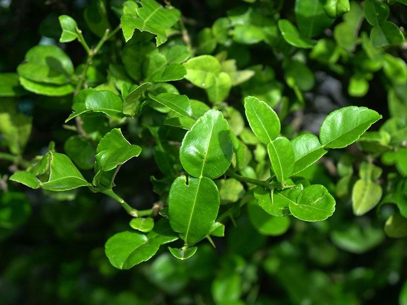 Lime Leaves Lemon Green