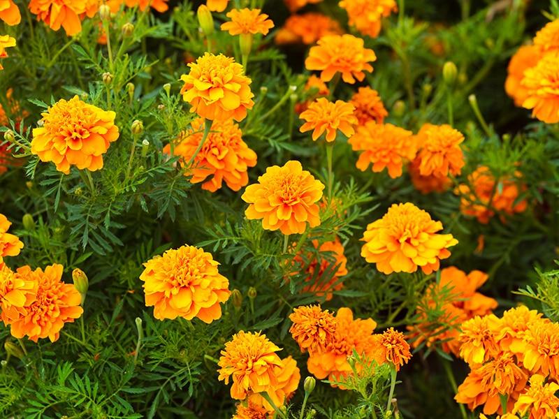 Marigolds Flowers