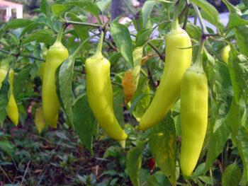 Banana Peppers Vs Pepperoncini