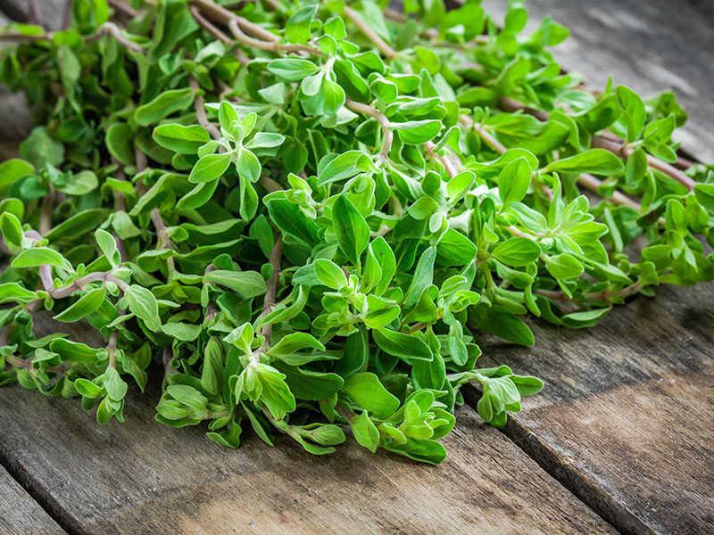 Green Herb Marjoram