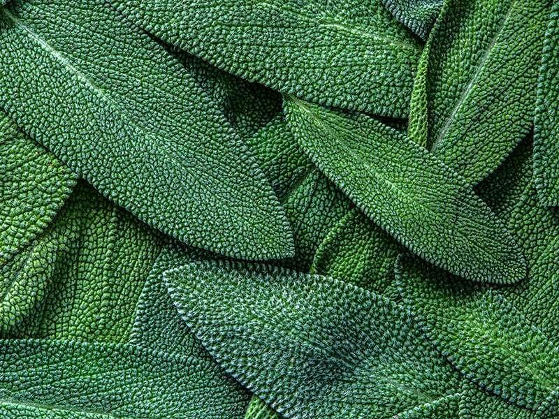 Herb Sage Leaf Abstract